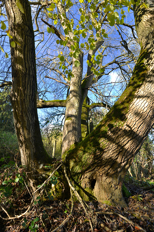 Mature pollarded Ash - Fraxinus excelsior, on woodland boundary, Stoke Wood, Oxfordshire.
