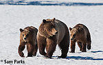 Grizzly bear sow and yearling cubs on snow. Grand Teton National Park, Wyoming.