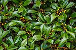 Holly (Ilex sp.), Washington Park Arboretum, Seattle, Washington, USA<br /> <br /> Canon EOS 5DS R, EF100-400mm f/4.5-5.6L IS II USM lens, f/11 for 1/10 second, ISO 160