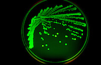 GFP IN E.COLI<br />