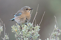 Adult female Mountain Bluebird (Sialia currucoides) perched on sage. Douglas County, Washington. April.
