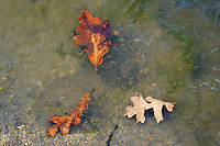Autumn leaves frozen in ice in the Seine River <br /> Winnipeg<br /> Manitoba<br /> Canada