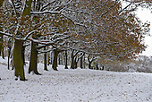 Richmond Park, Surrey, England. Snow scene of park trees in a row with snow lying along the branches.