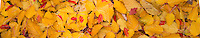 Paperbark Maple & Meliosama Veitchiorum  Leaves, Washington