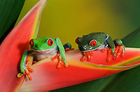 Cute Red-eyed Tree Frogs (Agalychnis callidryas) making direct eye contact while holding onto colorful tropical flower. Native to Central America. Captive.