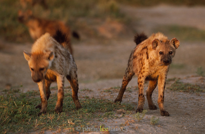 Hyenas at dawn in the Serengeti National Park, Tanzania