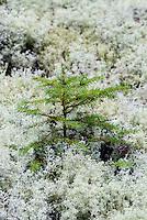 Evergreen spruce seedling, Mt desert Island, Maine