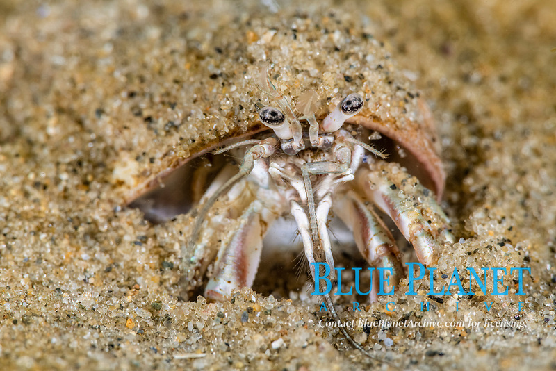 Longwrist Hermit Crab, Pagurus longicarpus, Rockport, Massachusetts, USA, Atlantic Ocean, buries into the sand to cover the snail shell for protection.