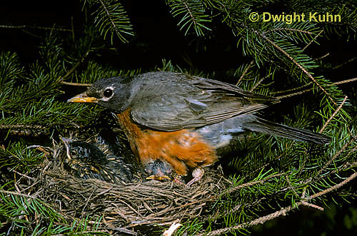 RO02-006z  American Robin - adult sitting on young in nest for protection - Turdus migratorius