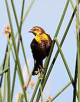 Female yellow-headed blackbird