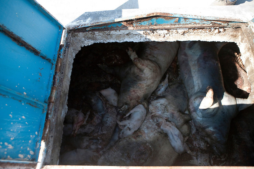 """3 may 2009 - Mexico - Pigs rot in a cement chamber at  a Carrol Farm feed lot near Perote, Veracruz. Diseased and dead pigs are stuffed in these modules until they are full. The waste emits a fetid odour. In La Gloria, near where the farms are located, residents have been complaining about manure dumps, flies and smell from the farms for a long time. Since February, they have warned the authorities that the wastes of these pig breeding farms caused an outbreak of respiratory infections and pneumonia in 60% of their 3000 inhabitants. Mexican media has called the Carrol pig farms """"ground zero"""" for infection. It recently was confirmed that an influenza case in the city, reported two weeks before the cases in Mexico City, was in fact the new strain of H1N1, combining genetic material from avian, swine and human influenza. The Food and Agriculture Organization (FAO) says that so far there is no established evidence that this strain of the influenza A virus has entered the human population directly from pigs, but it urges national governments and the international community to step up disease surveillance in swine. FAO together with the World Organization for Animal Health (OIE), will send a team of experts to Mexico this week to help the government assess the epidemiologic situation in the pig production sector. A spokesperson from Smithfields Foods said there is no clinical signs of influenza being reported in pigs or employees in the farm. Photo credit: Benedicte Desrus / Sipa Press"""