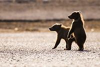 BooBoo and Corona, Lady Hook's cubs. Kodiak grizzly bear (Ursus arctos middendorffi), Hallo Bay
