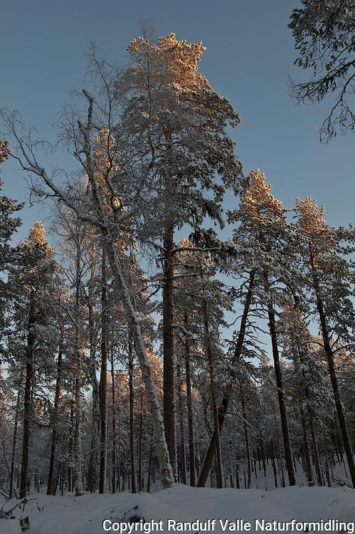 Soloppgang i furuskog. Pasvik. ---- Sunrise in pine forest. Pasvik, Norway.