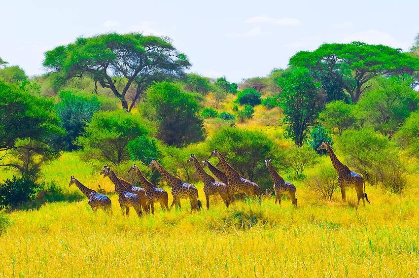 A herd of giraffes, Tarangire National Park, Tanzania
