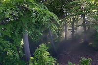Wald, Laubwald, Buchenwald, Sonnenstrahlen scheinen durch Blätterdach, Sonne, Wald, Laubwald. Königsstuhl