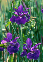 Siberian Irises Iris sibirica in spring flowers, purple blue