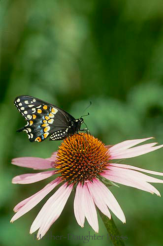 black swallowtail,papilio polyxenes, on coneflower, Echinacae