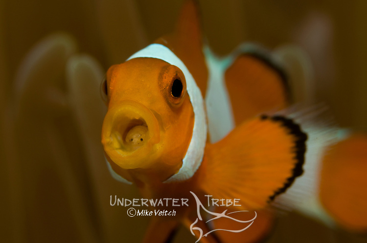 A false clown anemonefish, Amphiprion ocellaris, with a parasitic isopod, Cymathoa exigua, inside its mouth, Manado, North Sulawesi, Indonesia, Pacific Ocean