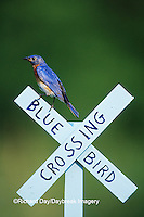 01377-15713 Eastern Bluebird (Sialia sialis) male on Bluebird Crossing sign, Marion Co. IL