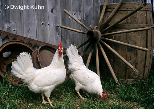DG13-051z  Chickens - White Leghorn