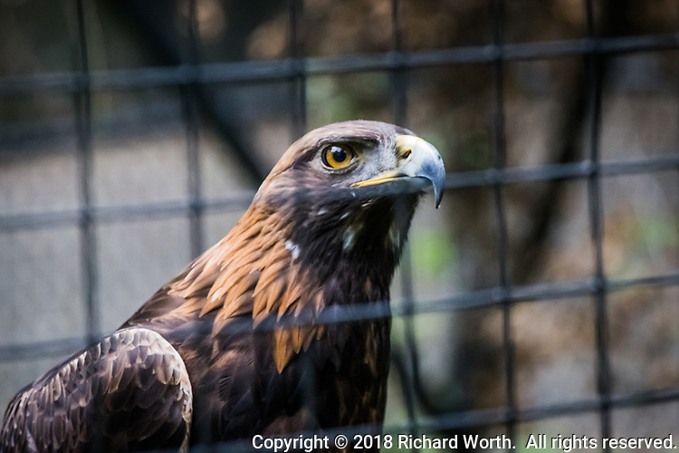 A Red-shouldered hawk, photographed through the mesh of its enclosure at the Sulphur Creek Nature Center where injured wildlife are treated and, when possible, returned to the wild.