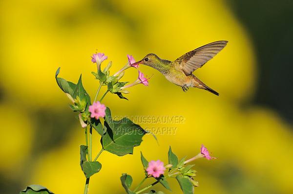 Buff-bellied Hummingbird (Amazilia yucatanenensis), adult feeding on flower, Dinero, Lake Corpus Christi, South Texas, USA