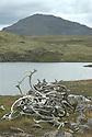 Horns from wild reindeer,Forollhogna,Norway Home decor, Trond Are Berge Landscape, landskap,