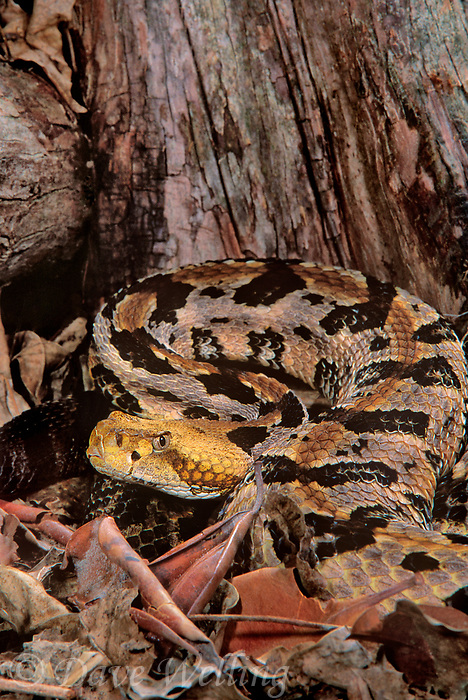 414484012 a captive cottonmouth moccasin agkistrodon piscivorous lays coiled on a tree stump - species is native to the southeastern united states