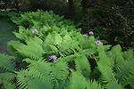 Washington Park Arboretum, Seattle, WA<br /> Thick patch of chain fern (Woodwardia fimbriata) highlighted with Scouler's valerian (Valeriana scouleri)