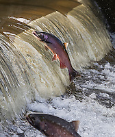 RP1028-Dv. Coho Salmon (Oncorhynchus kisutch) migrating upstream to spawn, here two males are leaping out of river to clear small waterfall caused by a hatchery spillway. Washington, USA. Cropped to vertical from native horizontal format.<br /> Photo Copyright &copy; Brandon Cole. All rights reserved worldwide.  www.brandoncole.com