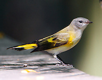 Female American redstart in fall migration