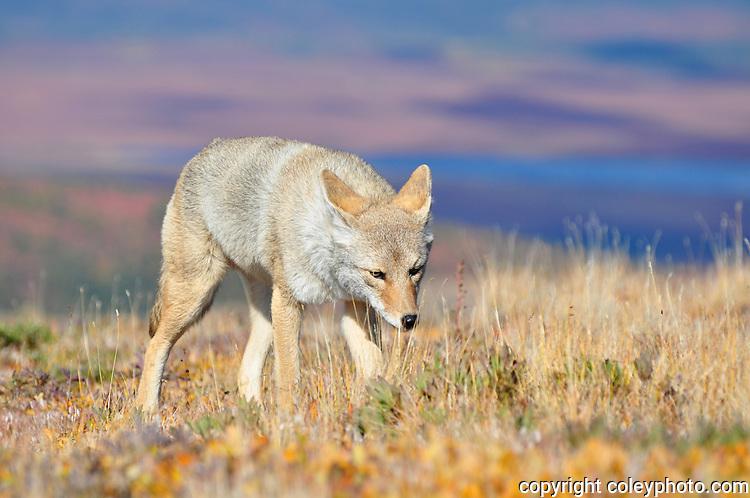 Denali Coyote