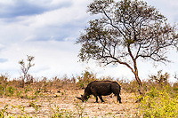 White Rhino grazing on the bushveld of Kruger National Park in South Africa
