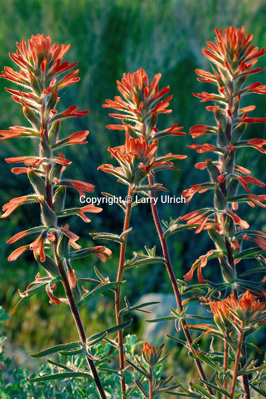 Desert indian paintbrush (Castilleja angustifolia)<br />