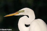 0313-0893  Great Egret Bill Detail, Ardea alba © David Kuhn/Dwight Kuhn Photography
