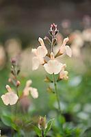 Salvia Peach Parfait