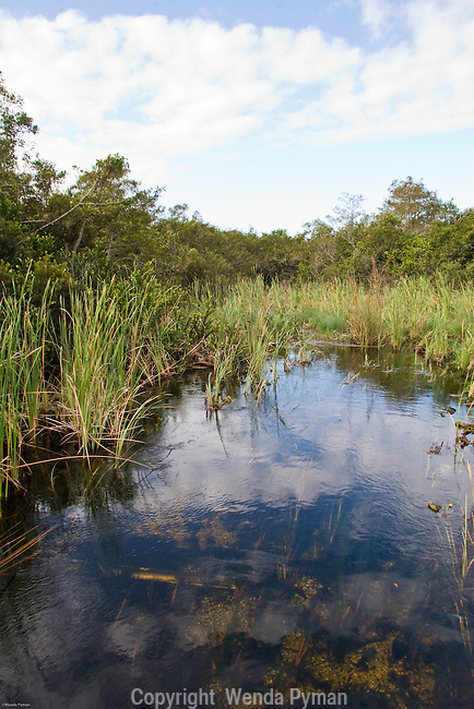 Cat tails are considered invasive to the Everglades, displacing sawgrass.