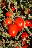 Raccolta di pomodori. Tomatoes harvest...