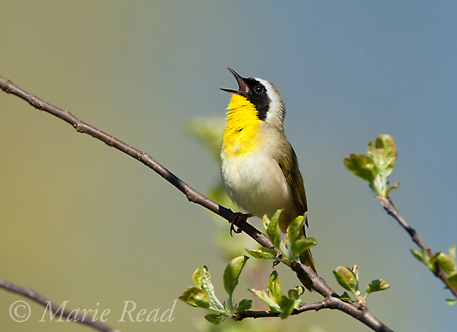 Common Yellowthroat (Geothlypis trichas) male singing in spring, New York, USA