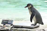 Penguins<br /> at the London Zoo annual Weigh-In, Regents Park, London<br /> <br /> <br /> &copy;Ash Knotek  D3296  24/08/2017