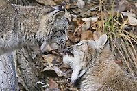 Two Canada Lynx; nose-to-nose