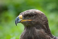 Steppenadler, Portrait, Porträt, Schnabel, Hakenschnabel, Steppen-Adler, Adler, Aquila nipalensis, Steppe Eagle