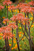 Flowering orange Aloe saponaria succulent in garden
