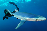 Blue Shark, Prionace glauca, close up with apnoe freediver diver in the background, offshore, Cape Point, Cape Town, False Bay, South Africa, Atlantic Ocean, Indian Ocean