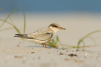 Fledgling Least Tern (Sterna antillarum) with oiled plumage. Harrison County, Mississippi. July.