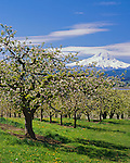Hood River County, OR: A fruit orchard in blossom with Mount Hood in the distance