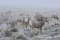 Mule Deer in spring snowstorm.