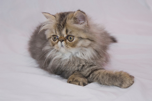Persian Cat, Felis catus, Brown Tabby, Kitten on Lace, Hill Country, Texas, USA