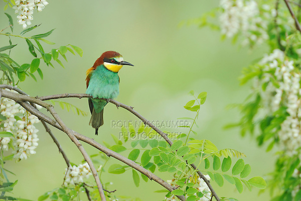 European Bee-eater (Merops apiaster), adult, Hungary, Europe