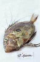 Europe/France/Provence-ALpes-Côte d'Azur/13/Bouches-du-Rhône/Marseille/Les Goudes: Les éléments de la bouillabaisse de Gaby le pêcheur au bar des Goudes - Les poissons: Le Saint-Pierre